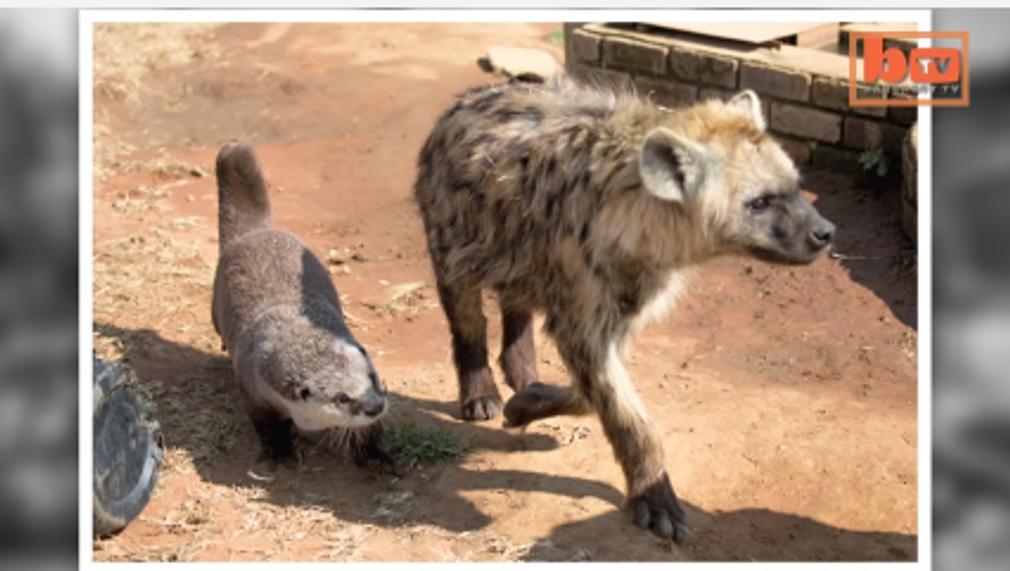 Moses-la-loutre-la-meilleure-amie-des-lions-et-des-hyenes.png