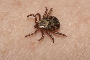 Maladie de Lyme : 70 malades veulent porter plainte contre l'Etat et des laboratoires