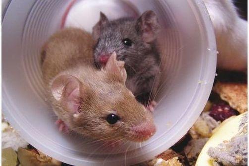 Un modèle de souris pour l'autisme