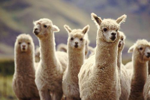 Et si le lama nous sauvait du coronavirus?