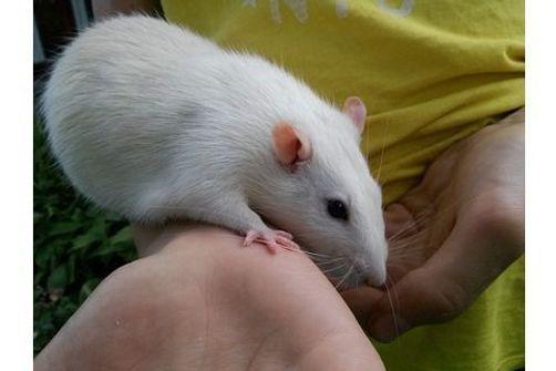 rat, peste