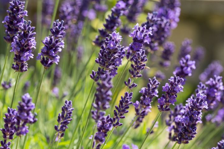Lavender (Lavandula angustifolia): properties, benefits of this ...