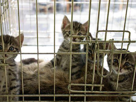 Acheter un chat chez un éleveur : ce qu'il faut savoir