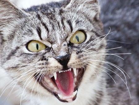 Mon chat est trop agressif. Que faire ?