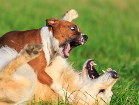 Mon chien déteste les autres chiens. Comment réagir ?