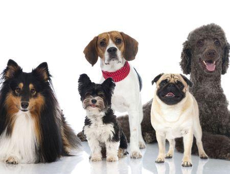 Races de chien