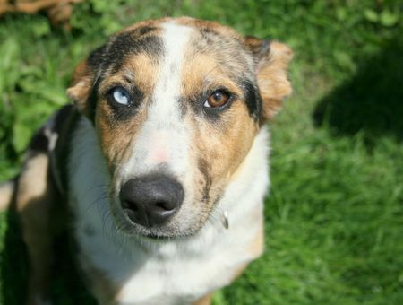 Les maladies génétiques du chien