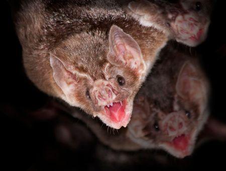 Les chauves-souris vampires se confinent spontanément en cas de maladie