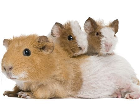 Les principales races de cochons d'Inde