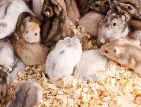 Un hamster, pour qui ?