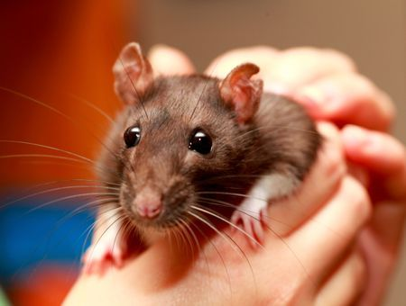 Contention et transport du rat domestique