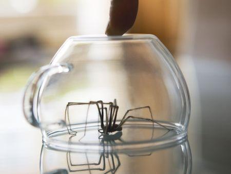 Araignée violoniste : sa morsure est-elle dangereuse ?