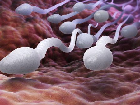Comment sont fabriqués les spermatozoïdes ?