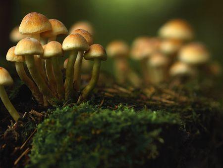 Microdosage : quand les champignons hallucinogènes améliorent les performances au travail