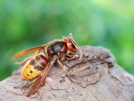 Allergie aux venins d'insectes