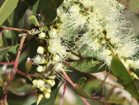 Huile essentielle d'eucalyptus citronné : propriétés et utilisations