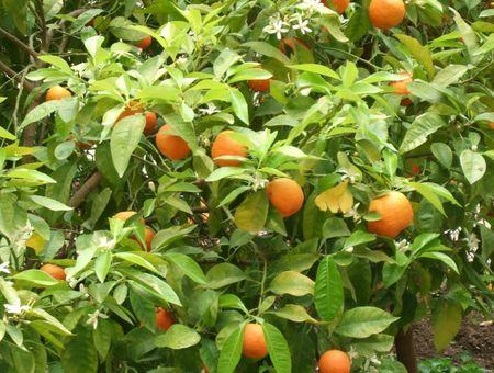 Huile essentielle de petit grain bigarade (orange amère) : propriétés et utilisations