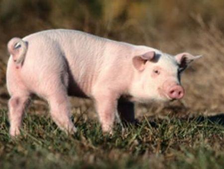 Pourquoi le porc a la cote ?