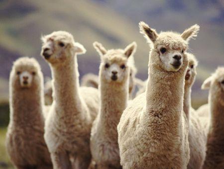 Les anticorps du lama, nouvelle piste contre le coronavirus ?