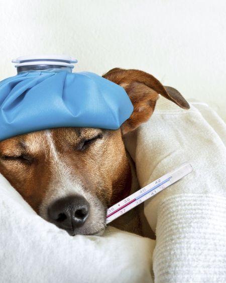 Mon chien a de la fièvre