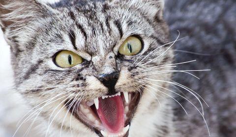 chat agressif
