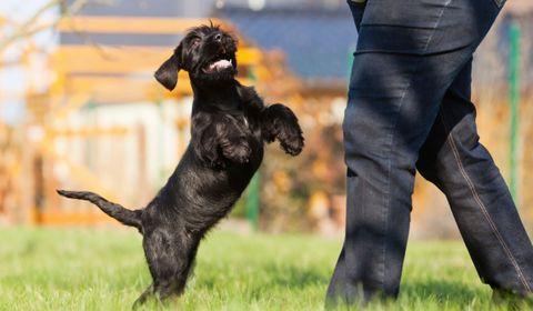 chien saute sur les gens