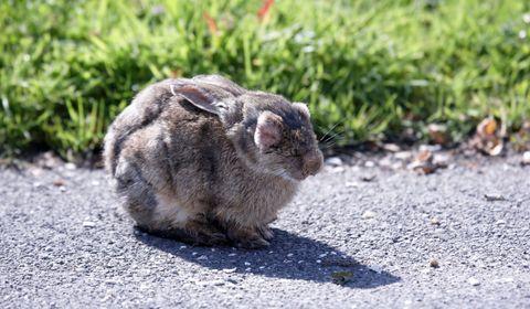 coryza du lapin