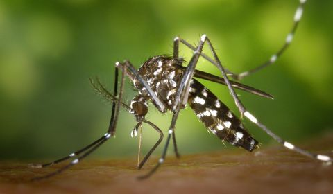 """Moustique tigre (Crédit photo : """"CDC-Gathany-Aedes-albopictus-1"""" by James Gathany, CDC - Centers for Disease Control and Prevention's Public Health Image Library (PHIL) #2165)."""