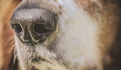 """L'Académie de médecine appelle à """"compléter l'évaluation scientifique"""" des chiens """"renifleurs"""" de Covid-19"""