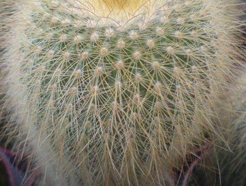 Le cactus cierge - Les plantes dépolluantes