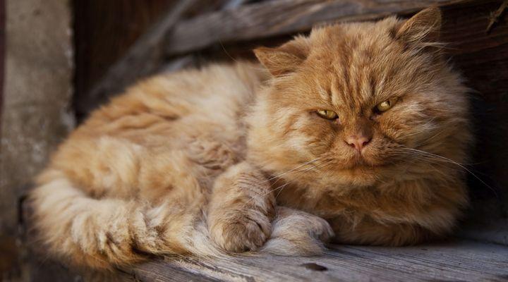 vieillesse chez le chat
