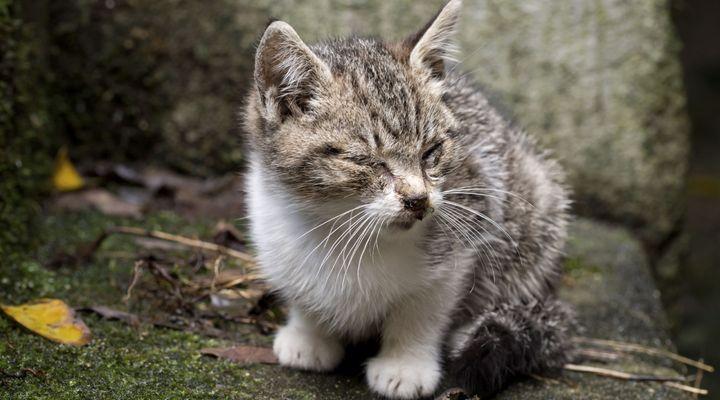 mal au ventre chat