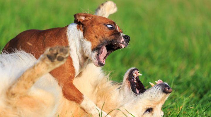 Mon chien déteste les autres chiens