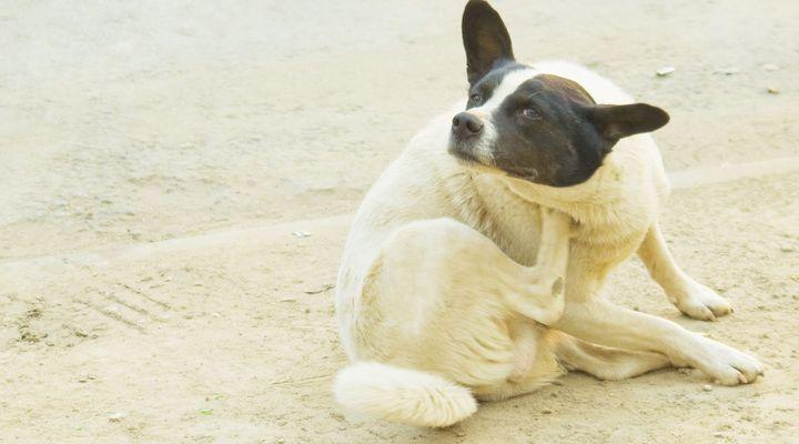 chien se gratte