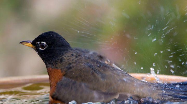 bains et douches des oiseaux domestiques