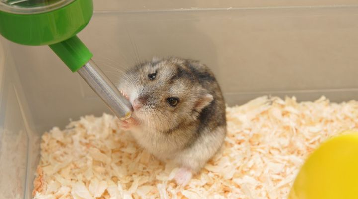 hydratation du hamster