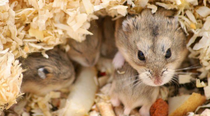 reproduction et élevage de hamsters