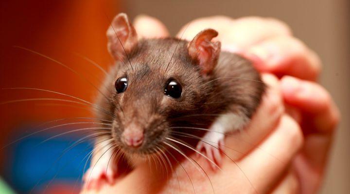 contention et transport du rat domestique
