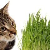 Les bienfaits de l'herbe à chat