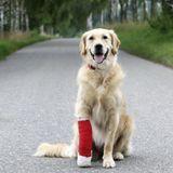 Blessures à la patte des chiens