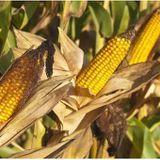 OGM : l'Assemblée nationale adopte un moratoire contre la mise en culture