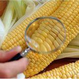Vers une évolution de la législation sur les OGM?