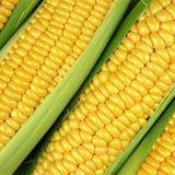 OGM : gare aux allergies ?