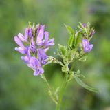 À quoi sert l'alfalfa ?